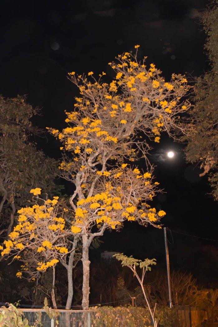 A Lua Cheia abraça o ipê